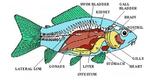 the-fish-anatomy